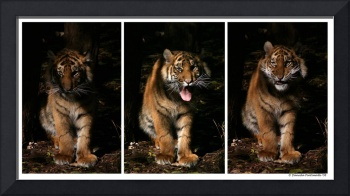 Baby Tiger Expressions