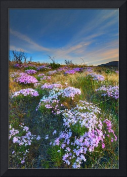 Snowy Phlox Sunset