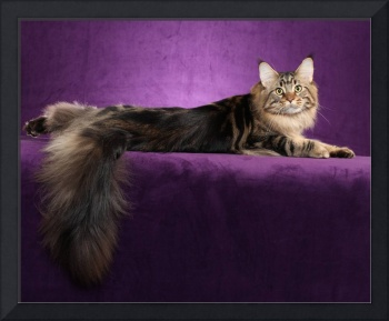 Sweet Maine Coon Cat Surrounded By Purple