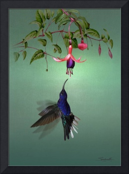 Violet sabrewing Hummingbird and Fuchsia