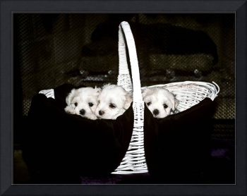 Three Maltese Puppies in a Basket