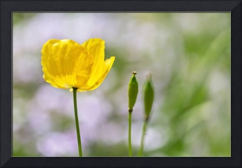 Yellow Welsh Poppy