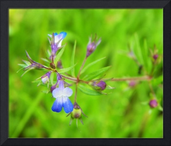 Botanical - Blue Eyed Mary - Outdoors Floral