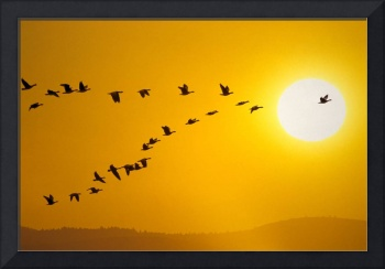 Canada geese migration in sunset Composite