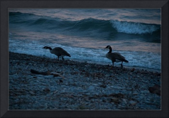 Mid Winter Geese