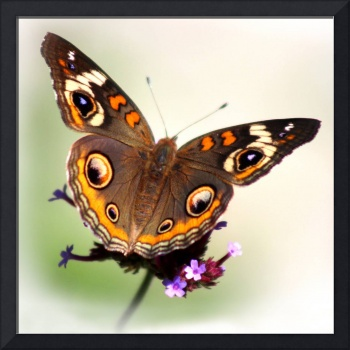 Common Buckeye Butterfly White Vignette Square