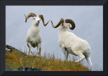 Two Dall Sheep Rams In A Dominance Display, Denali