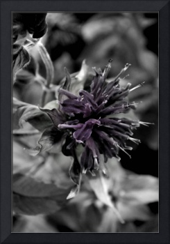 Bee Balm         Desaturated Edit