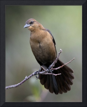 Boat Tailed Grackle female