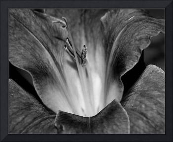 Gladiola In Black And White