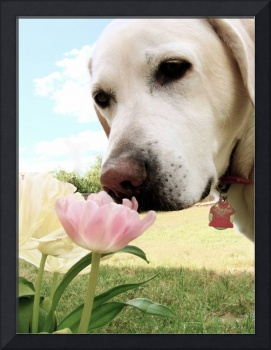 Labrador and Tulip