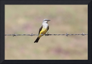 Western Kingbird Photograph