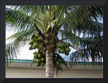 Coconut Tree loaded with green coconuts