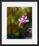 Gaura with Bokeh Background by John Corney