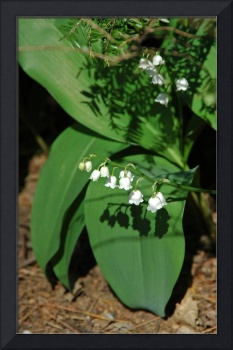lily of the valley shadows