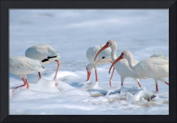 Ibis in Snow?