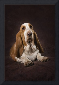 Basset Hound On A Brown Muslin Backdrop