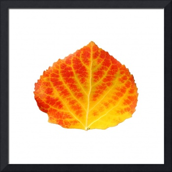 Red and Yellow Aspen Leaf 2.LG