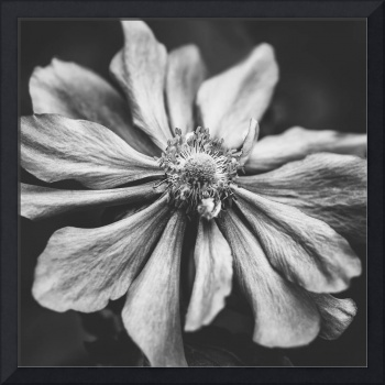 Anemone Photographic Art in Black and White