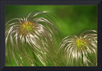 Clematis Pods for Dr. Suess