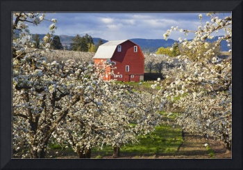 Apple Blossom Trees And A Red Barn Oregon, USA