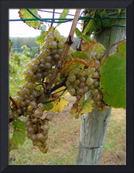 grapes and the fencepost