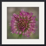 Blossoming Red Clover Flower by Jim Bavosi