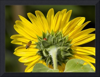 The Ladybug Bee and Sunflower