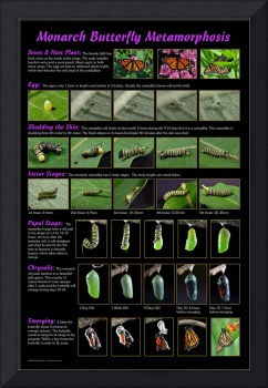 Monarch Butterfly Metamorphosis Poster