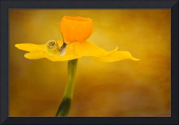 Snail on a daffodil flower_