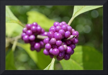 Purple Beautyberries