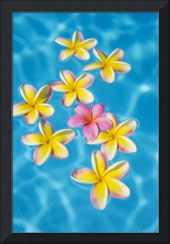 Bright Yellow Plumeria's Floating Around One Pink