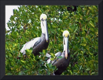 Perching Pelicans
