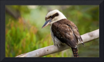 Laughing Kookaburra Bird