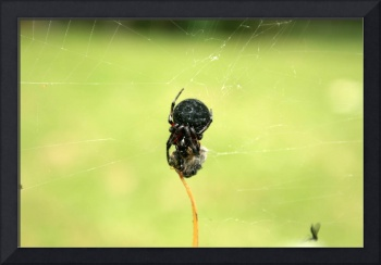 Orb Weaver Spider With Wrapped Prey