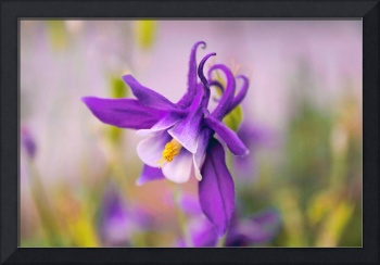 Spring Magic Columbine