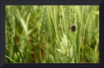 Acrobatic Ladybug in Wheat Field in NW Oklahoma
