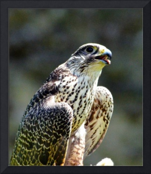 Scottish Peregrine