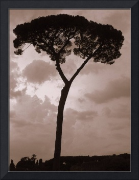 A Tall Tree Silhouette in Sepia