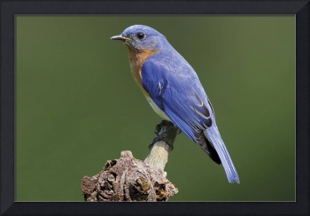 Eastern Bluebird Photograph