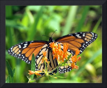 Monarch and a Butterfly Weed