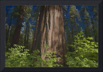 Sequoia Special Effect II