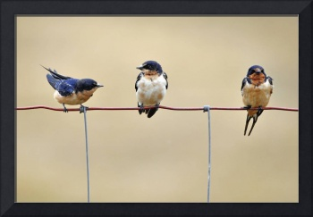 Three Young Swallows