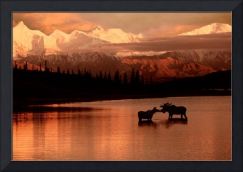 Moose Kissing in Wonder Lake Denali NP Digital Com
