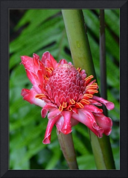Maui Torch Ginger2
