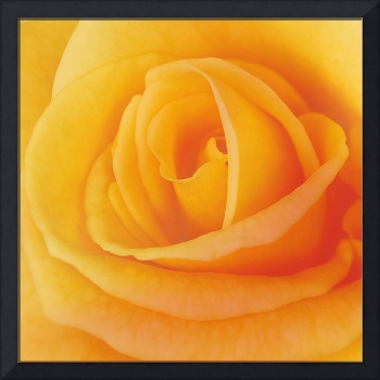 Yellow Rose 4788
