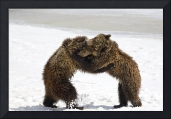 Dancing Grizzly Bear Cubs