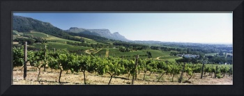 Vineyard with Constantiaberg Range and Table Moun