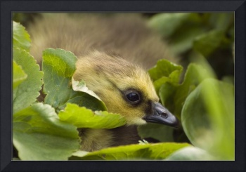 A week old Canada Goose gosling hides in some gree