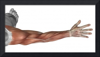 Muscle anatomy of the human arm, posterior view